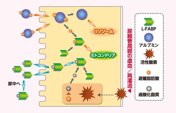 図2 近位尿細管細胞におけるL-FABPの尿中排泄メカニズム